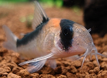 Breeding Albino Corydoras Related Keywords & Suggestions - Breeding ...
