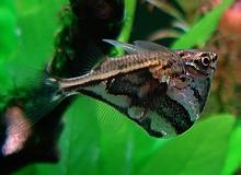 Marbled Hatchetfish (????)